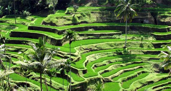 ubud-rice-terrace-adi-tour-guide